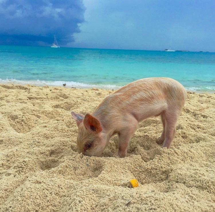 Where Is Pig Island Bahamas